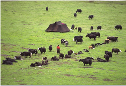 Figure 3: Mobile lifestyle of the Drogpas. Image Source: Wild Yak