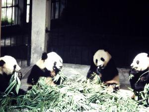 Smiling Pandas-Guangzhou Zoo